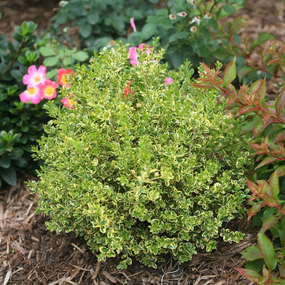 Wedding Ring Buxus Spring Meadow wholesale liners