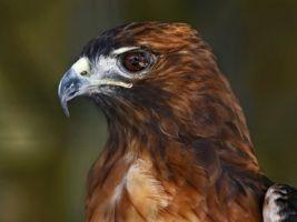 Fondo de pantalla de águila Aves Animales