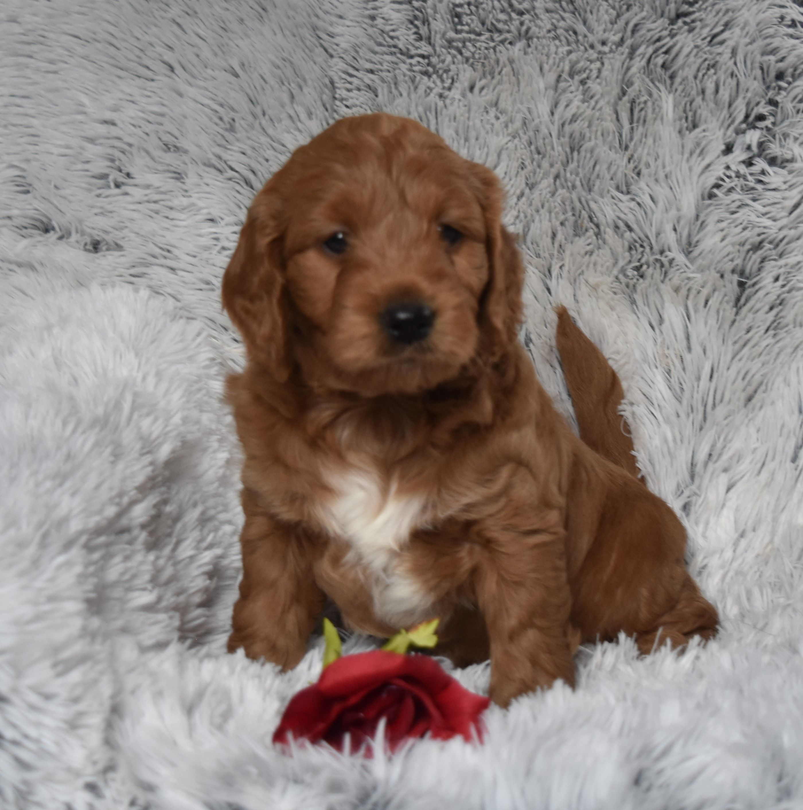 Puppies for Sale Puppies, Baby beagle, Mini goldendoodle