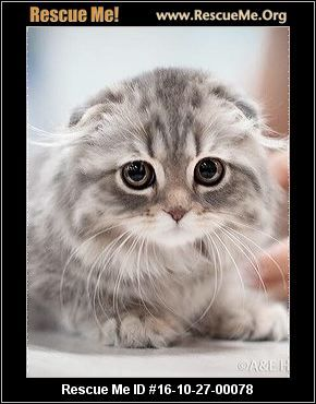 Click Here To View Scottish Fold Cats For Adoption Or Post One In Need Rescue Me Scottish Fold Cat Scottish Fold Cat Adoption