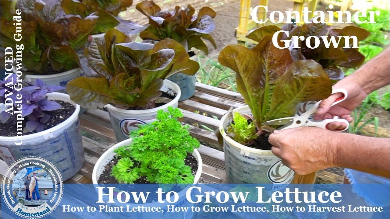 How To Grow Lettuce Advanced Complete Growing Guide Ga