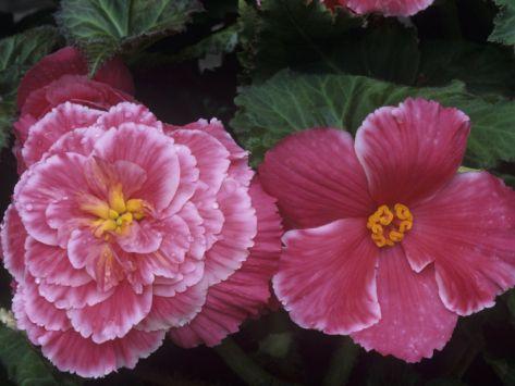 Begonia Flowers Mean Beware Flower Meanings Begonia Flowers