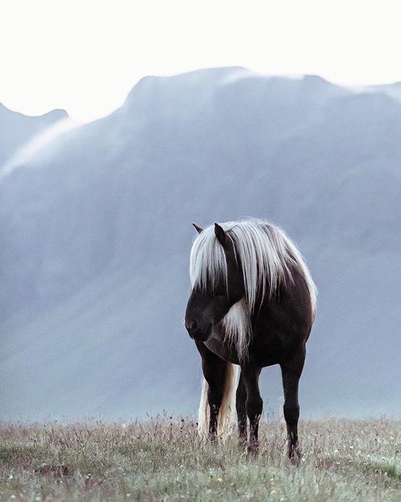 hannahargyle - #Iceland #ponies