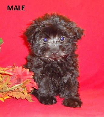 Pomeranian Puppies Shih Poos For Sale In Nc Puppies