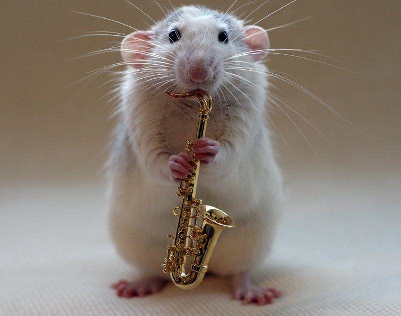 Картинки с прикольными крысами