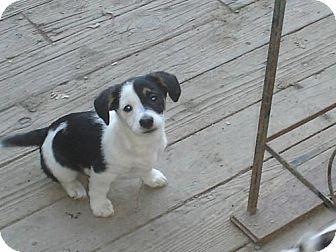 Jack Rus Terrier Corgi Mix Puppy