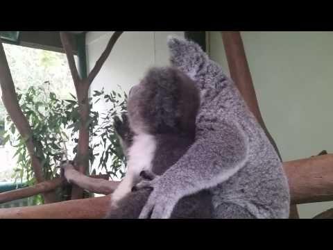 Archer the Koala with best friend Aria:  Koala love!      https://www.youtube.com/watch?v=vCJKILJoVLw&feature=youtu.be
