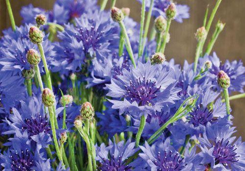 Dwarf Blue Cornflower Seeds Dried Flower Arrangements Dark Blue Flowers Flower Seeds