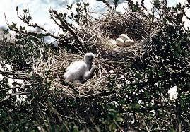 Royal spoonbill nests