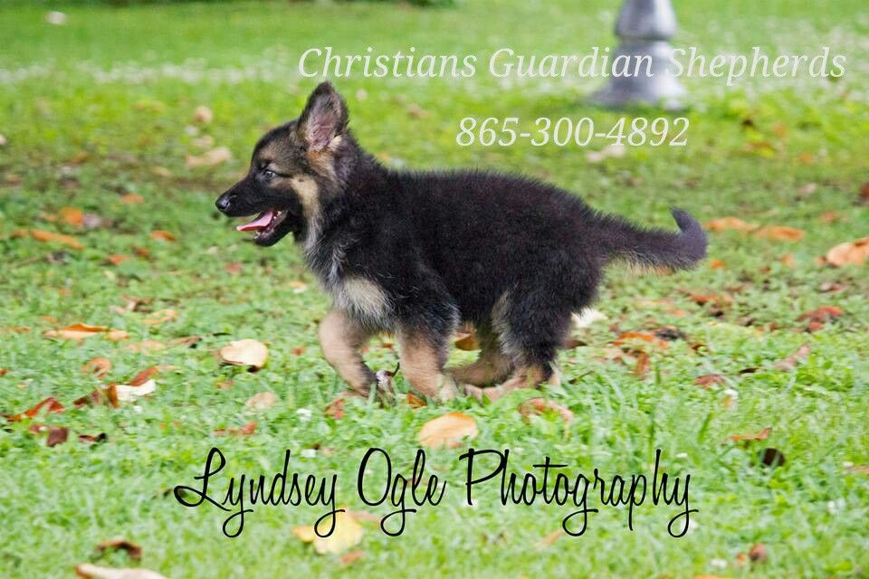 German shepherds for sale knoxville tennessee www