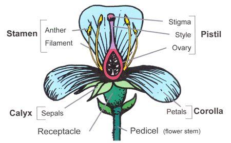 Flower anatomy diagram beautiful flowers 2019 beautiful flowers anatomy diagram csp th grade flower diagram worksheet ixiplay free resume samples worksheet th grade flower diagram flower anatomy th grade science ccuart Choice Image