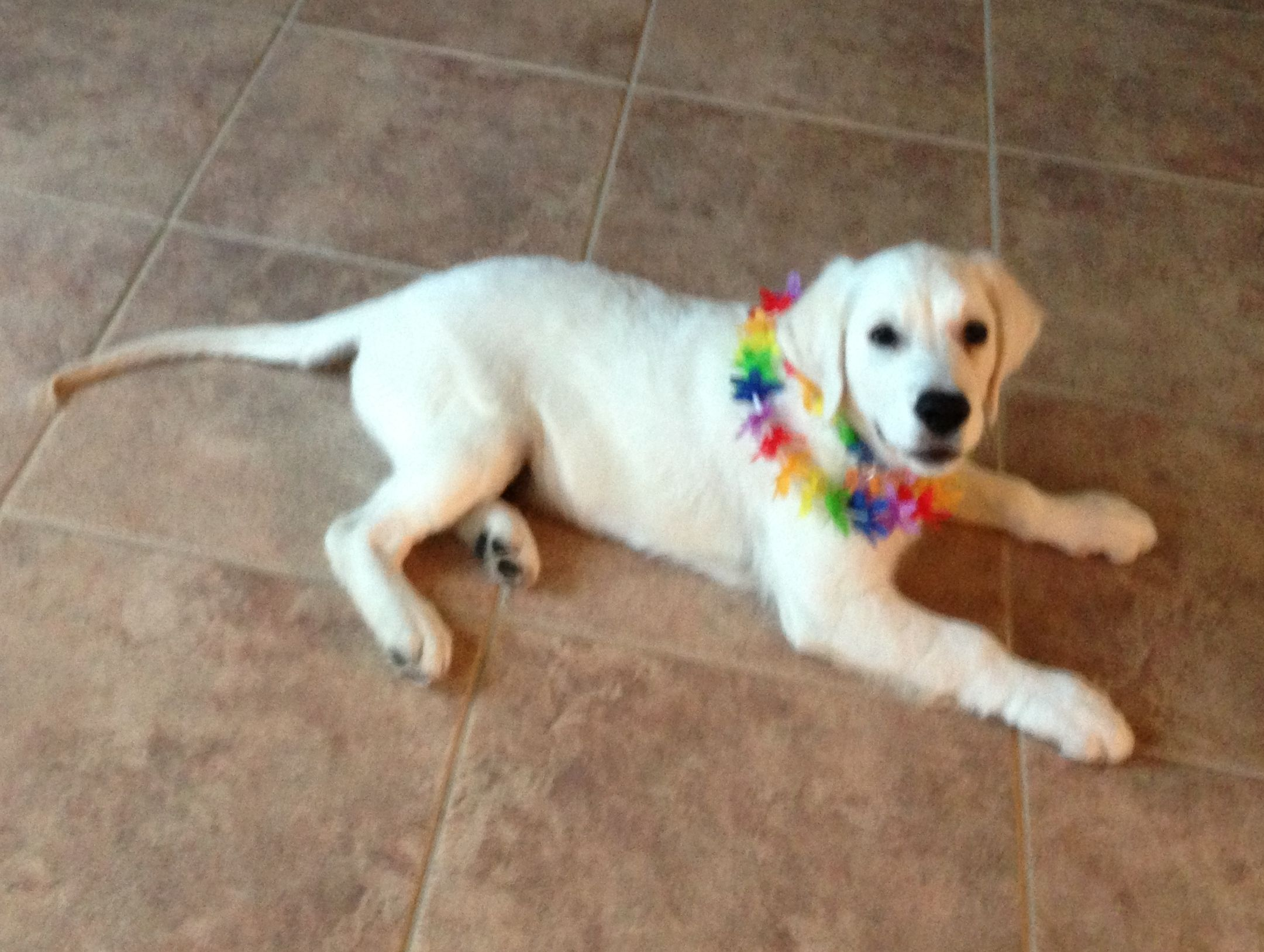White Golden Retriever Puppy 14 Weeks Sampson Who Is Author