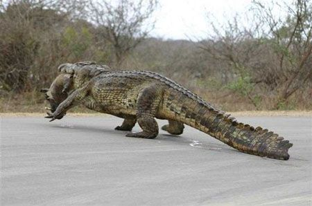 HaHa Alligator walking off with a wild boar in his mouth. Geaux Gator!