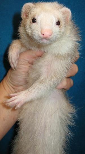 Adoptable Ferrets