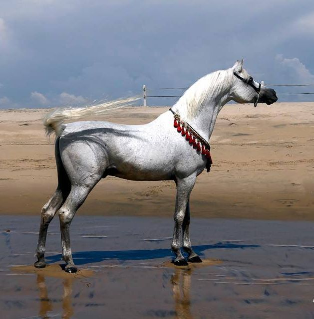 The Arabian horse is known for its classic beauty and one of its most…