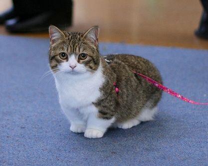 Munchkin Kittens for Sale Buy Munchkin Cat Near Me