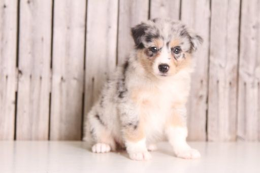 Australian Shepherd Puppy For Sale In Mount Vernon Oh Adn 34395