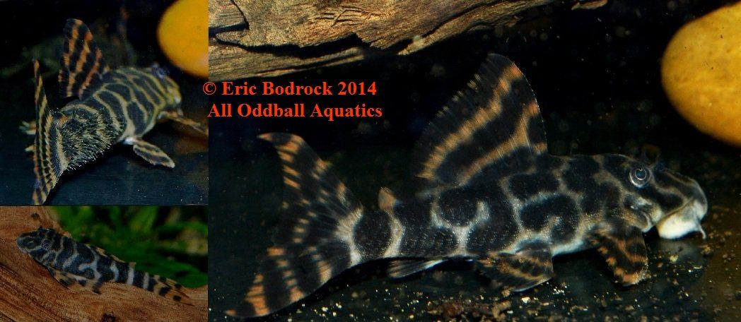Fwcatfishp1507496533 4 Peckoltia Sp L494 Rio Paru New L Number Rio Fish Pet Plecostomus