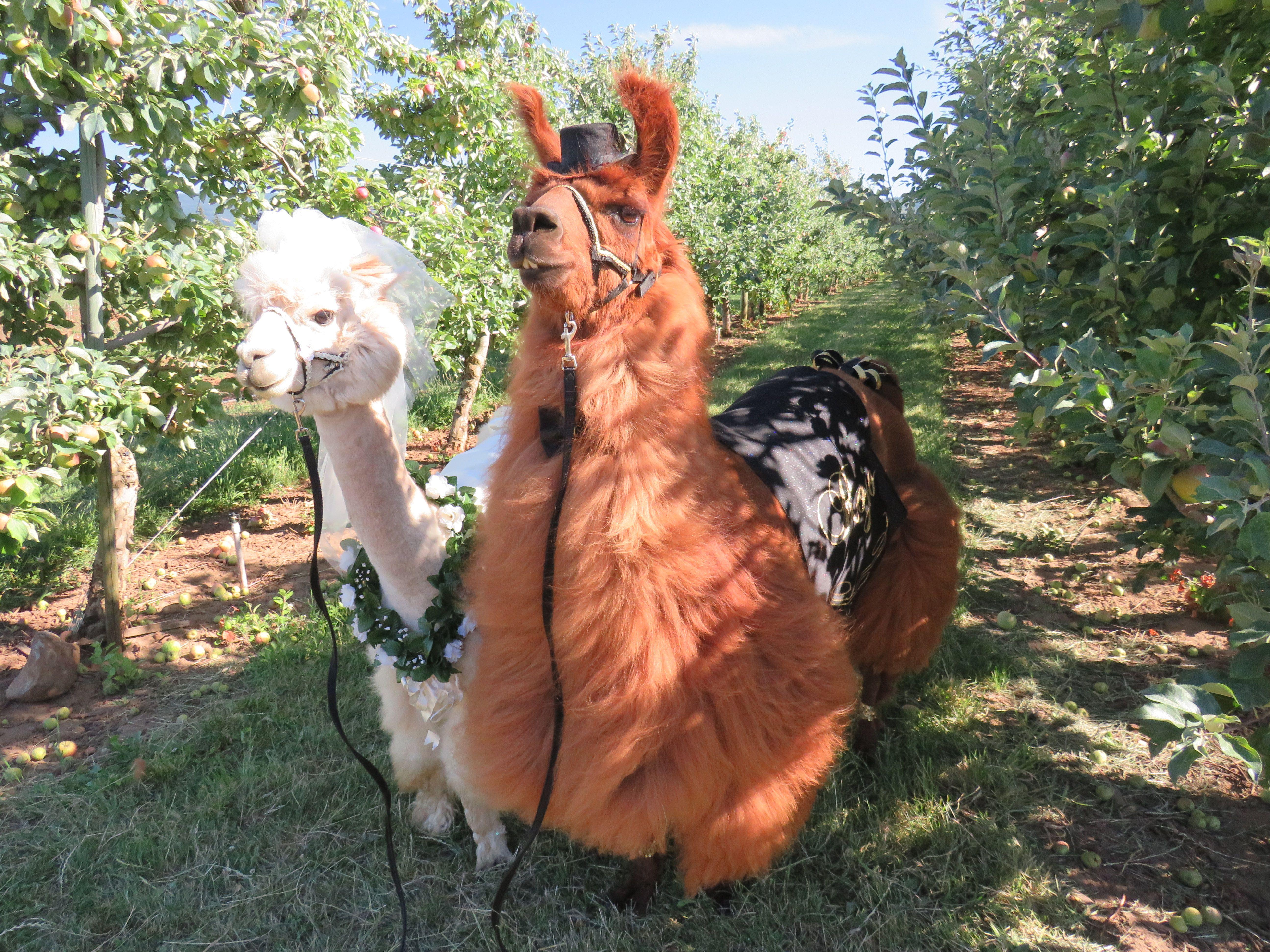 Wedding Llama And Alpaca Rojo And Napoleon Www Rojothellama Com Llama Animals Napoleon