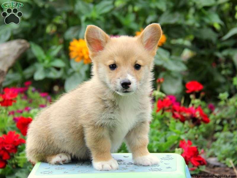 Dandy Havashu Puppy For Sale in Pennsylvania Puppies