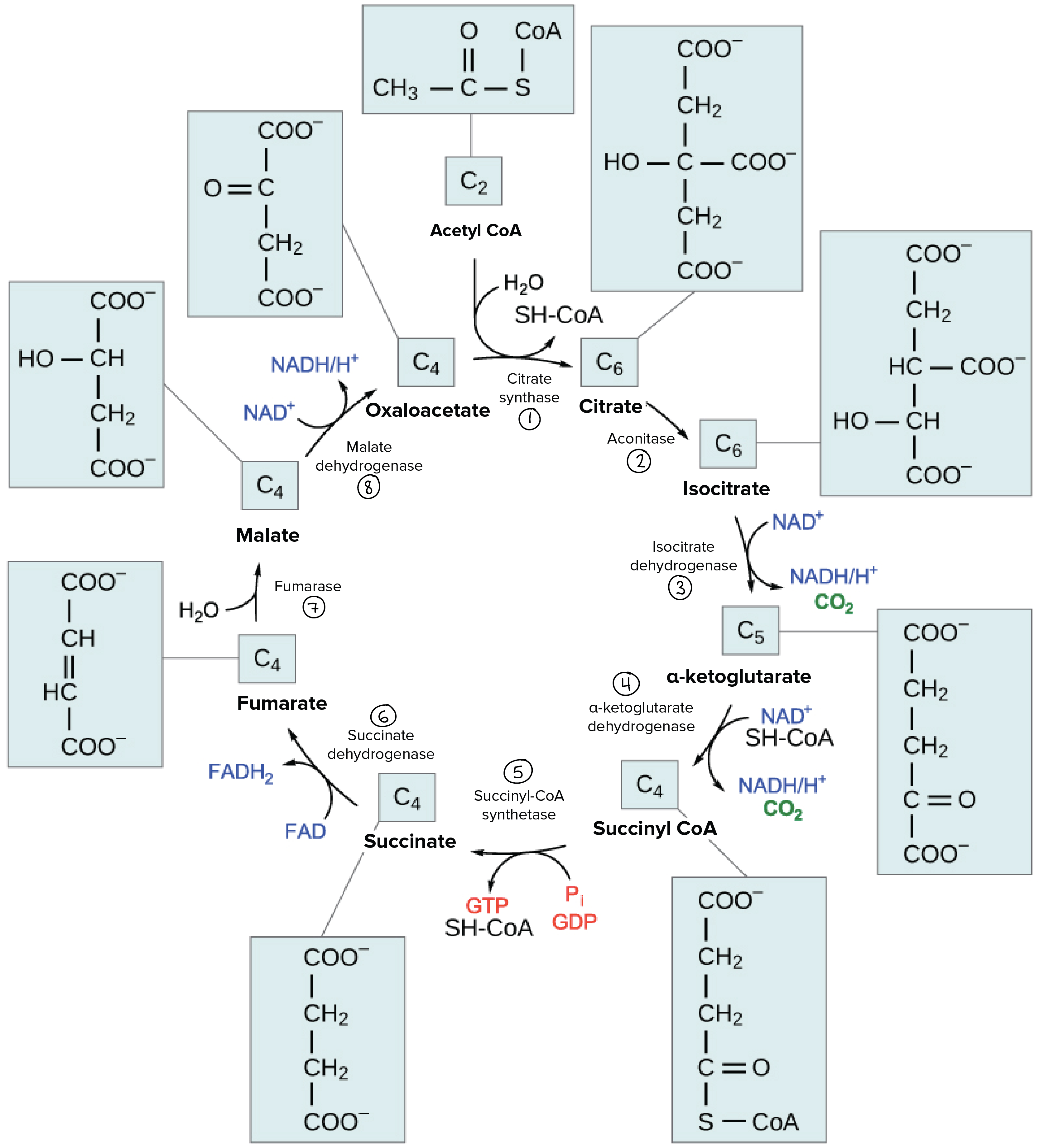 citric acid cycle The presence of genes encoding enzymes involved in the citric-acid cycle has  been studied in 19 completely sequenced genomes in the majority of species,.