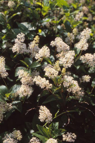 Durable Plants For The Garden: New Jersey Tea (Ceanothus Americanus) 3'x3', Z3-8, Eastern