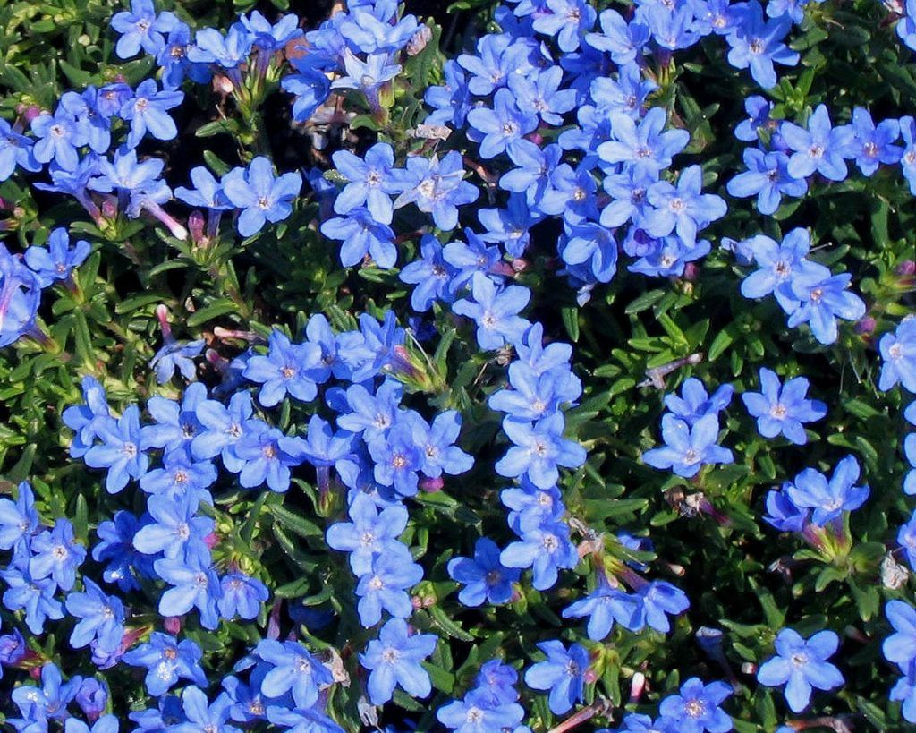 40 Perennial Flowers and Perennial Plants Flowers