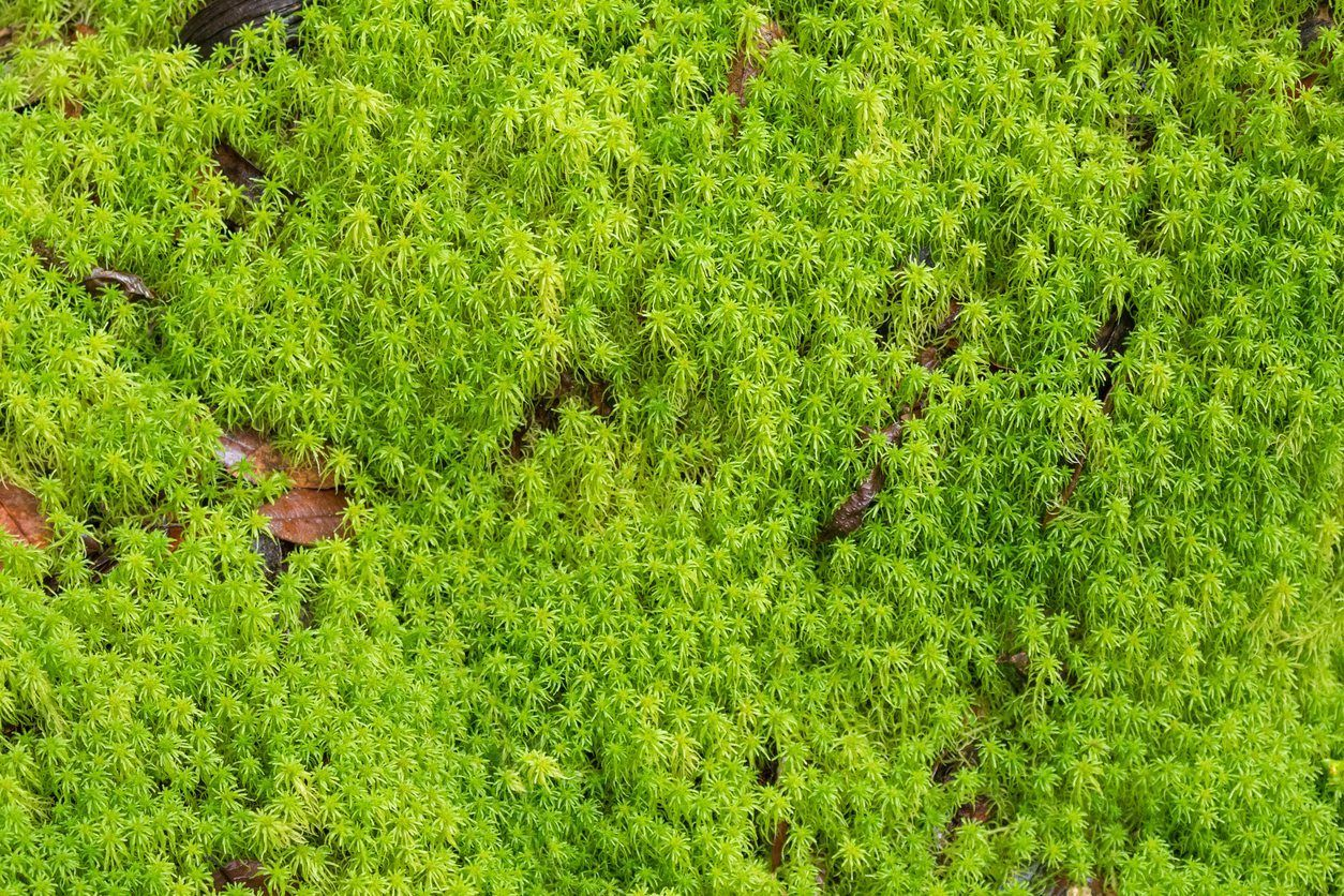 Sphagnum Moss Vs Sphagnum Peat Moss Are Sphagnum Moss And Peat Moss The Same Peat Moss Growing Moss Ground Cover Plants