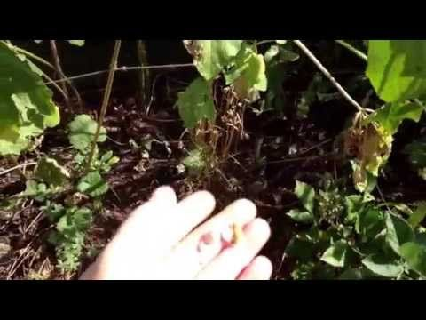 How to prune hollyhock for next years flowers - YouTube