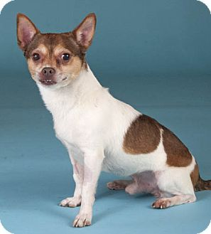 Chicago Il Chihuahua Rat Terrier Mix Meet Max A Dog For Adoption Rat Terrier Mix Terrier Mix Dog Adoption