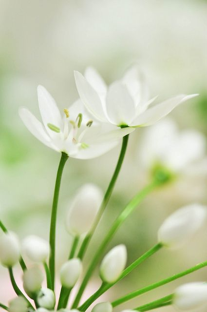 95 pinterest delicate flowers and white flowers 95 by myk via flickr a blossoming is happening a flickr award winner myk mightylinksfo