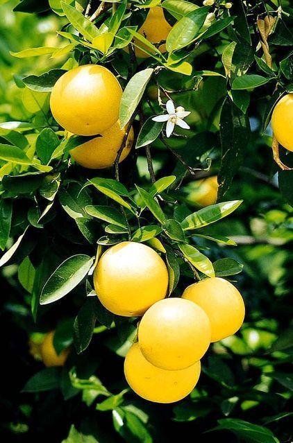 Pin On Citrus Fruits