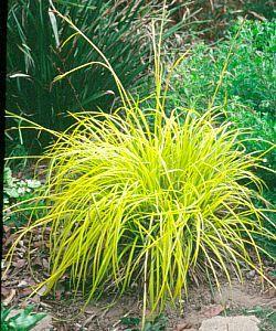 carex 'bronze reflection' | garden | pinterest, Best garten ideen