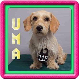 Houston, TX Dachshund Mix. Meet Uma a Dog for Adoption