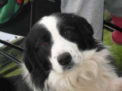 Border Collie Puppies Puppies For Sale Gold Coast Queensland Border Collie Dogs For Sale In Austra Collie Dog For Sale Border Collie Puppies Collie Puppies