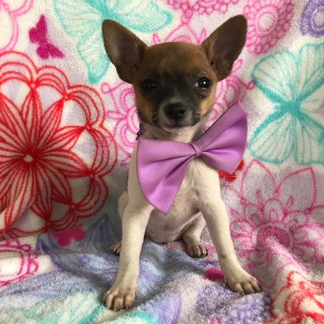 Chihuahua Puppy For Sale In Honey Brook Pa Adn 66107 On