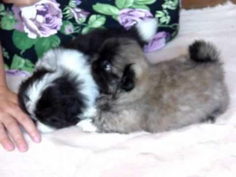 Pin By Kim Nobile On Pekingese Video S Pekingese Puppies Pekingese Pekingese Dogs