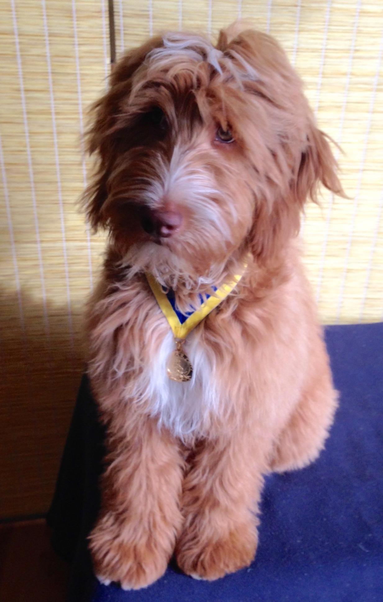 Iowa Goldendoodle Puppy | Mini & Petite Goldendoodle puppies for