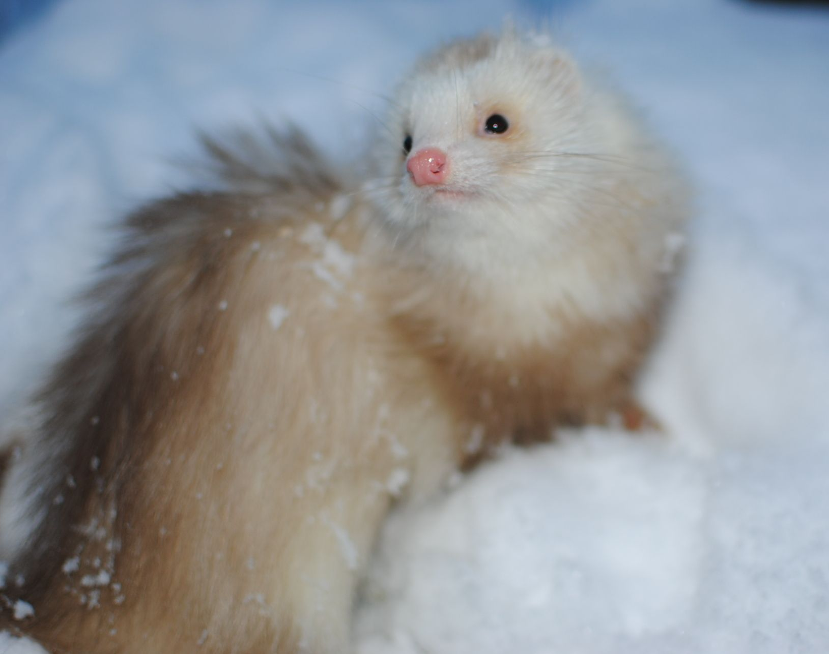 Permalink to 50 Cute Angora Ferrets for Sale