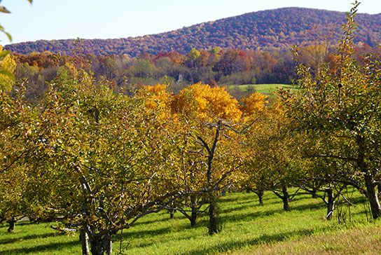 Apple Orchard at Indian Ridge   Hudson Valley, Country ...
