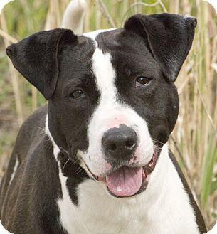 E Cattivo Il Bull Terrier Chicago, IL - American...