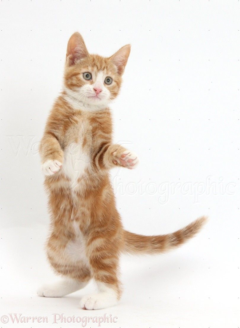 Ginger Kitten Standing Up With Raised Paws Photo Ginger Kitten Kitten Paw