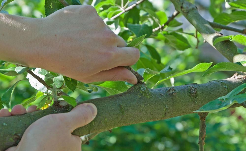 obstbäume schneiden: 10 tipps, Garten dekoo