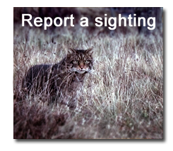 Report a sighting of a wildcat Wild cats, Cat species