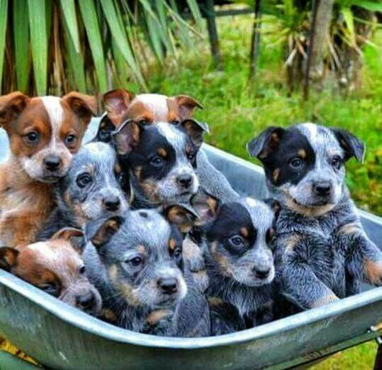Adorable Cattle Dog Puppy Australian Cattle Dog Puppy Heeler Puppies