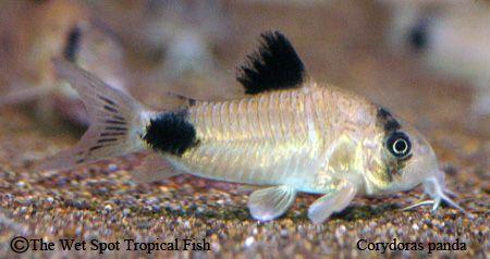 Corydoras Panda Wild Fish Tropical Fish Aquarium Fish