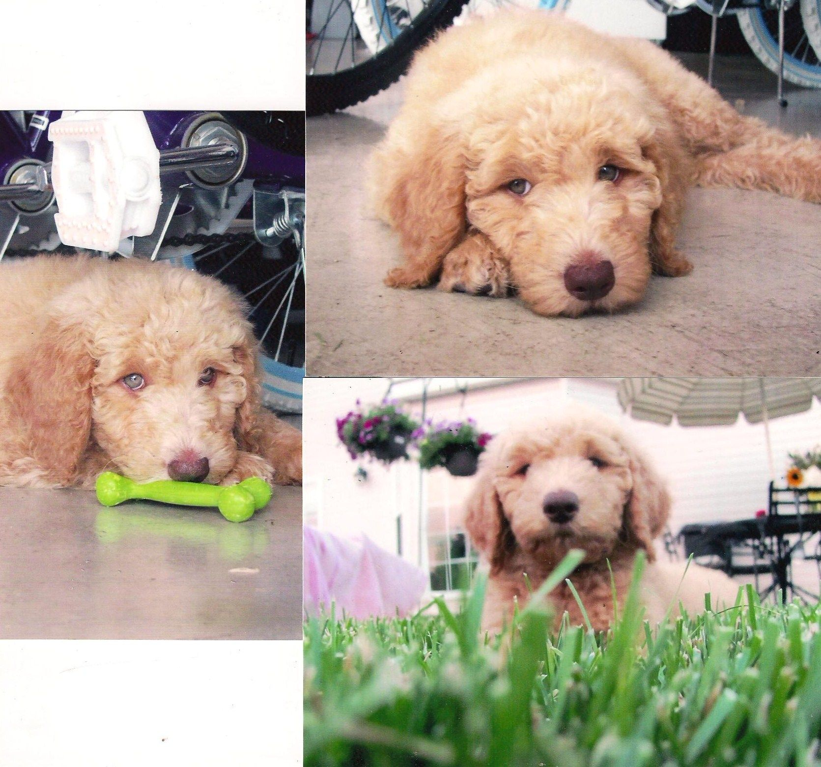 Someday When I Have A Big Backyard I Ll Need Another Curly Haired Cutie Like This Doodle Puppy Goldendoodle Cute Dogs