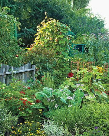 How Runner beans and tomatoes climb up the back wall, cabbage and Kale grow amidst the herbs. Nasturtium add some orange and red flowers (whilst having edible leaves, flowers and seeds that have anti-bacterial properties). The chives again with the purple flowers adding a contrasting leaf texture.