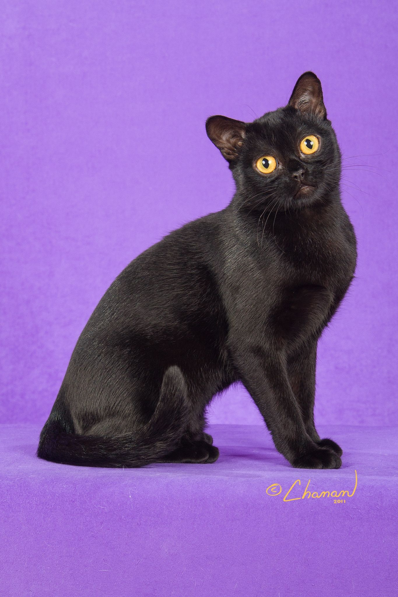 Breed Profile The Bombay Crazy Cats Asian Cat Cat Breeds