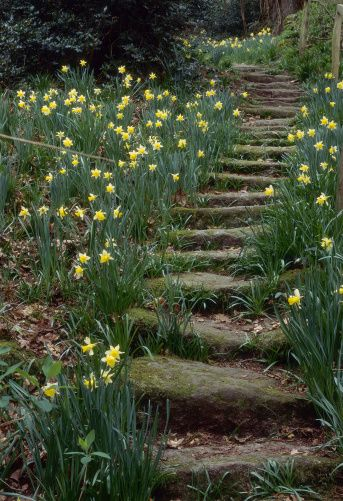 Spring Daffodils (narcissus) Edging Stone Steps